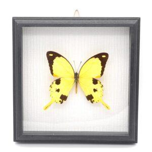 Papilio darsanus (Кения) в рамке 36743