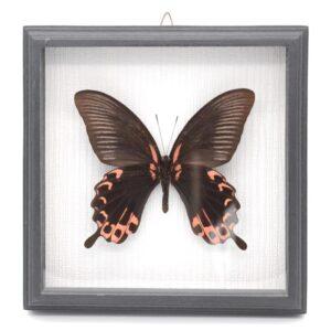 Papilio deiphobus (Индонезия) в рамке 36744