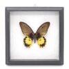 Papilio memmon Самка (Индонезия) в рамке 46122 64181