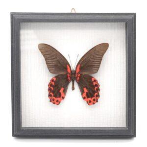 Papilio rumanzovia (Филиппины) в рамке 36758