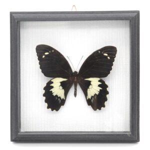 Papilio gambrisius (Индонезия) в рамке 36746