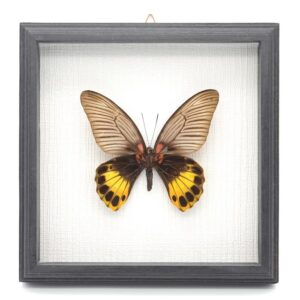 Papilio memmon Самка (Индонезия) в рамке 46122