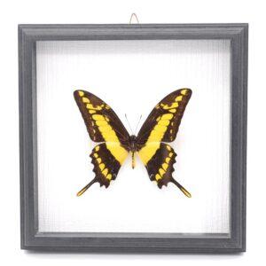Papilio thoas (Перу) в рамке 36761