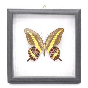 Papilio gigon (Индонезия) в рамке 36747