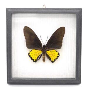 Troides oblongomaculatus (Новая Гвинея) в рамке 36784