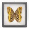 Caligo atreus F. самка (Бразилия) в рамке 36701