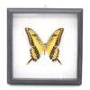 Papilio thoas (Перу) в рамке 36762