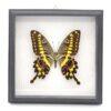 Papilio lormieri (Кения) в рамке 36751