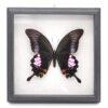 Papilio iswara (Малайзия) в рамке 36749