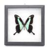 Papilio phorcas (Танзания) в рамке 36757