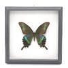 Papilio maakii (Китай) в рамке 36752