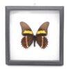 Papilio arcturus (Перу) в рамке 36738