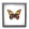 Papilio arcturus (Перу) в рамке 36738 64210