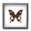 Papilio nephelus (Малайзия) в рамке 36754